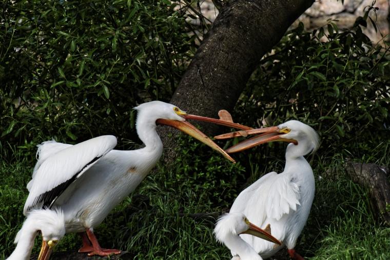 pelican-argument.jpg